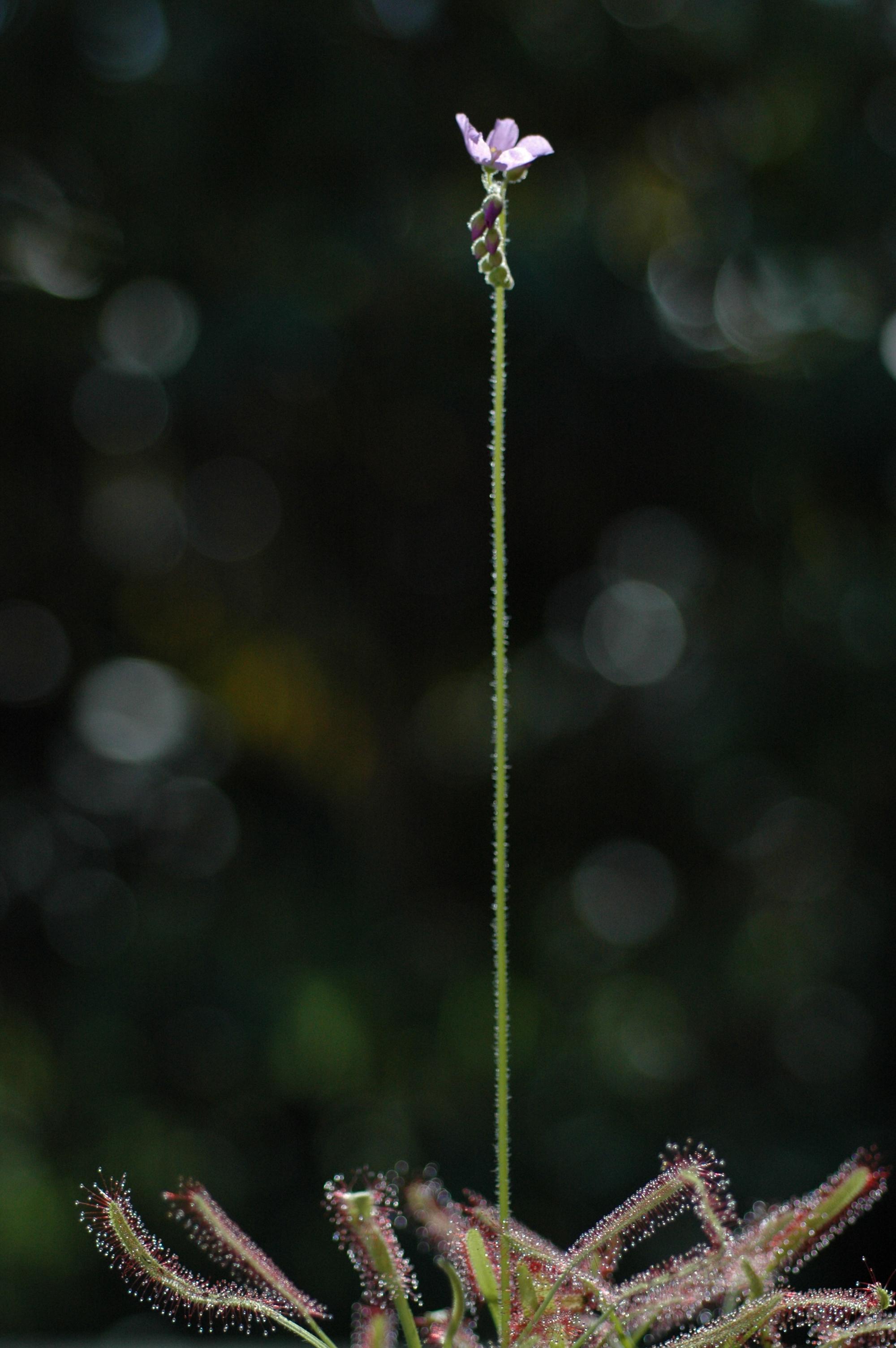Sundew flower stalk
