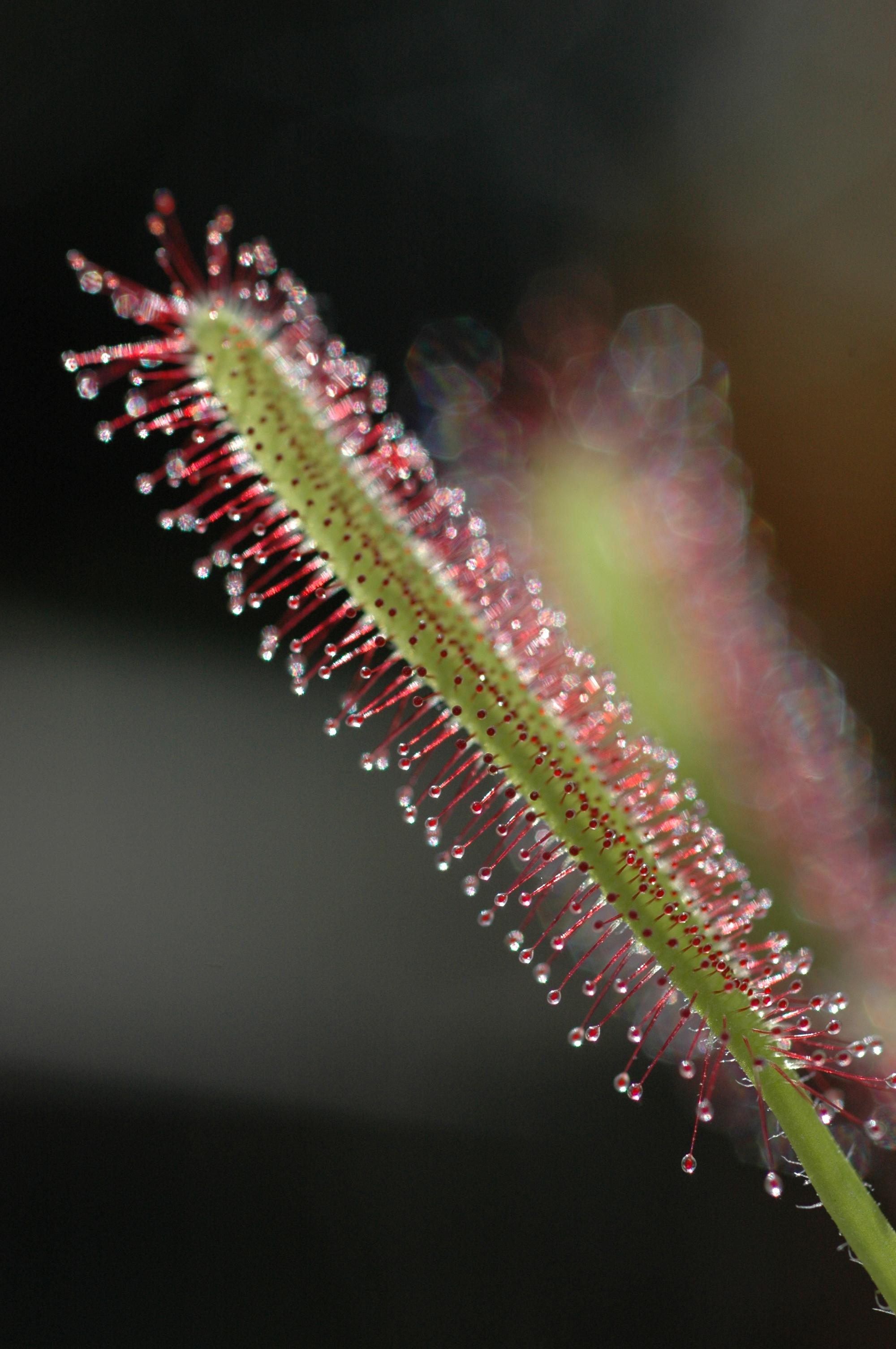 Sundew leaf