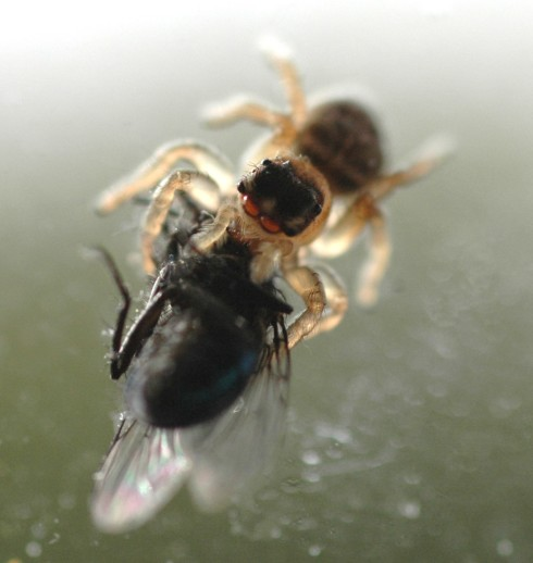 Jumping Spider with Fly - looking forward