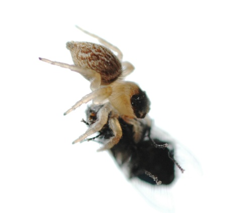 Jumping Spider with Fly - side view