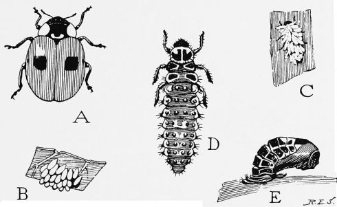 Life cycle of the 2-spotted lady beetle. A, the adult beetle. B, group of eggs on under surface of a leaf. C, a young larval beetle covered with white wax. D, the full-grown larva. E, the pupa attached to a leaf by the discarded larval skin