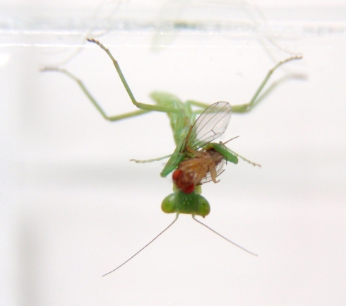 Diplora consuming a fruit fly