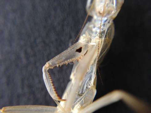 Exoskeleton showing detail of forearms and an eyespot on the arm
