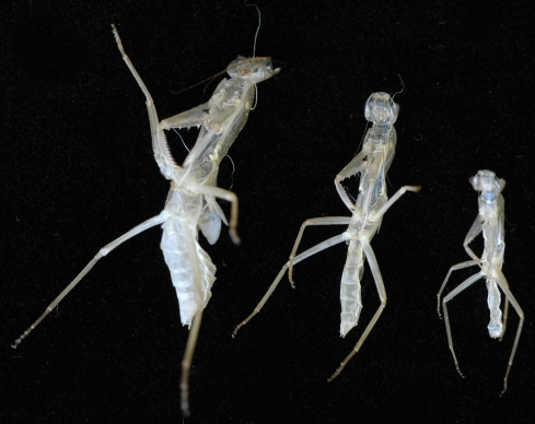 Several exoskeletons from one mantid as it grew larger