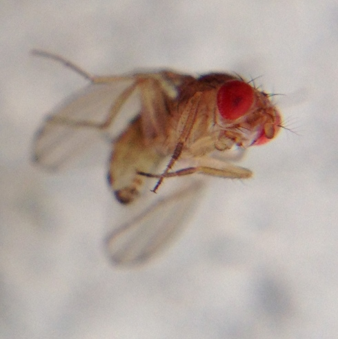 Drosophila (fruit fly)