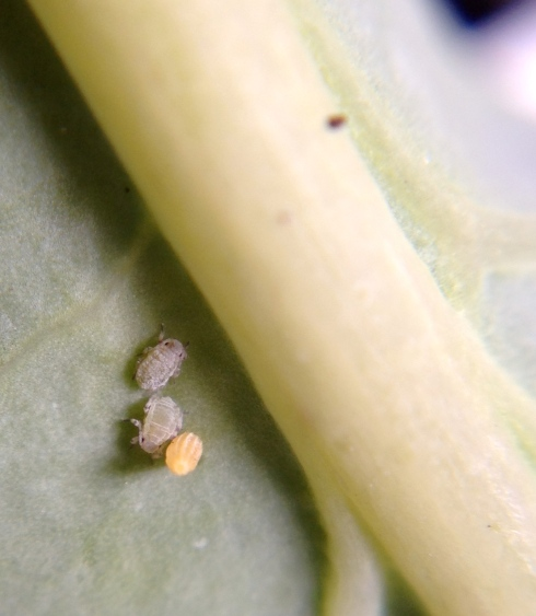 Aphids, and eggs of something