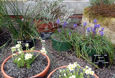 Plants flowering in the alpine house
