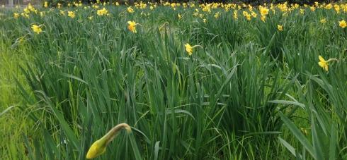 Daffodils in Hagley Park