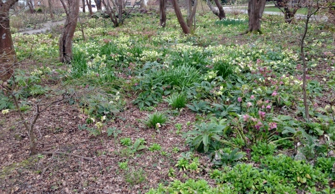 Maples and Hellebores